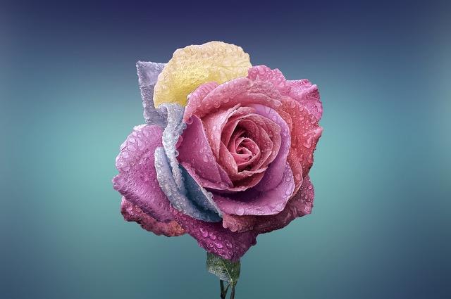 bunte Rosenblüte